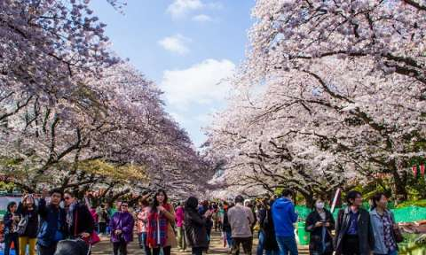 Lễ hội hoa anh đào Nhật Bản